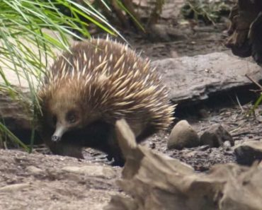 One of the echidnas at Healesville Sanctuary. Although there was some glass between us we still got really close.