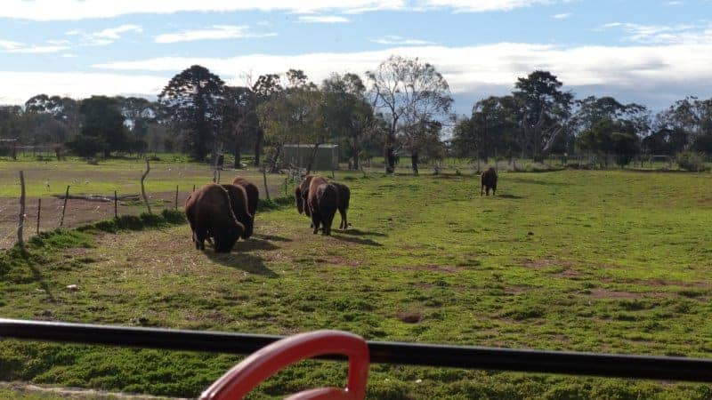 Werribee Zoo's bison herd on the plain.